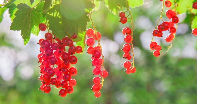 Ribes-rosso-Proprietà-e-benedici
