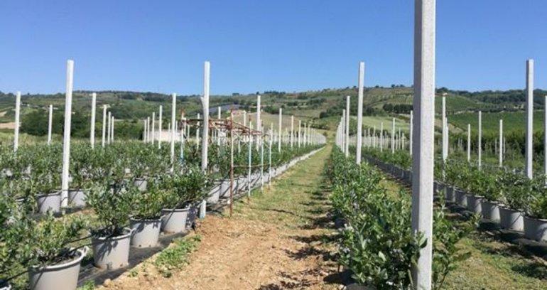 Marche-piccoli-frutti-Sant'Orsola